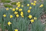 Daffodils Mar 2012 030