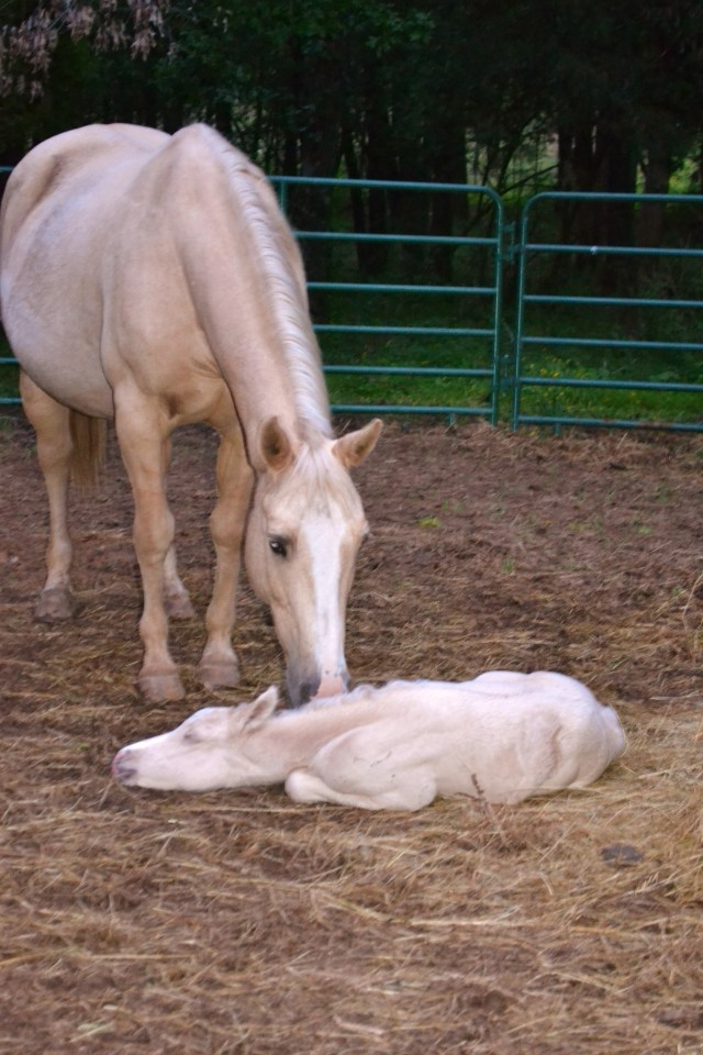 Crackerjack and newborn foal