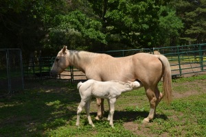 the dam and her foal  color of Palomino  the sire was a Paint