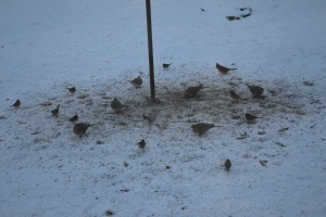 Doves joined redbirds today.