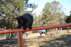Cougar on metal gate