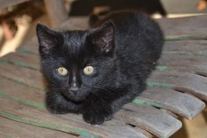 Cougar, the Kitten