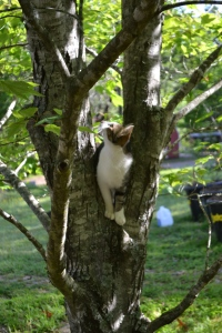A young cat--a really big, young cat with his eye on the squirrel in the maple tree.