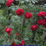Red Roses in the Rain