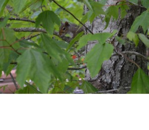 Young squirrel in a maple tree.