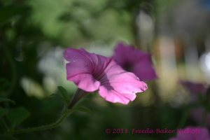 pink is a color-- the bloom of petunias a mother's day gift