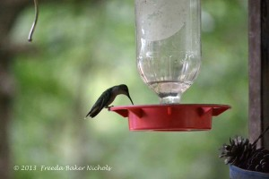 This little hummer stops by for a treat. He never lets the other hummers eat. You'd think he'd like to share his food, but he buzzes in with a selfish mood.
