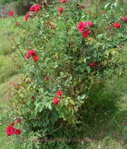 wild rose-tree