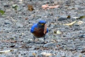 Mr. Bluebird  gathers one worm at a time-- his family's meal