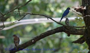 Mrs. and Mr. Bluebird of Banner Mountain out on a limb just singin' about cool days in June