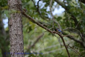 Mr. and Mrs. Bluebird are back again today. They love Banner Mountain and here is where they'll stay. Sparrows took their birdhouse and the bluebirds took to trees. Their nest is well-hidden in the thick, green leaves. © Freeda Baker Nichols