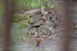 robin in the woodlands