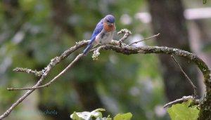 Bluebird - 1