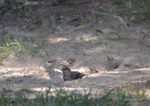 Dust Bathing Sparrows