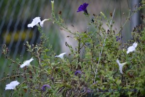end of summer/ Mother's Day petunias/ stop their blooming/
