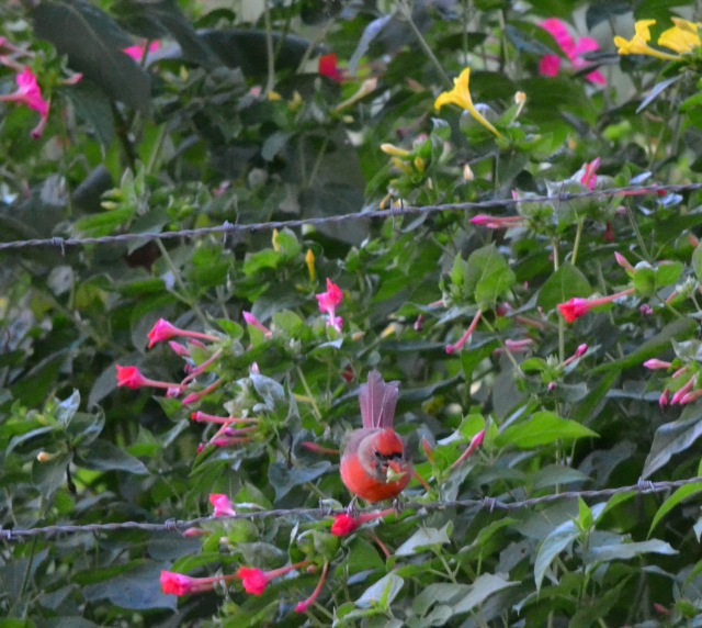 redbird on wire fence/ among Grandma's four o'clocks/ pink and yellow blooms/