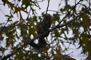 In red oak tree eating acorns