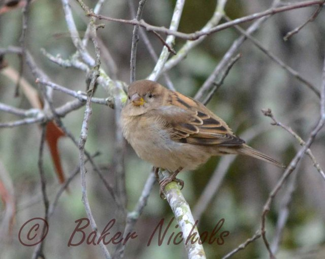 sparrow in treetop alone on limb of the oak-- blends with fall colors