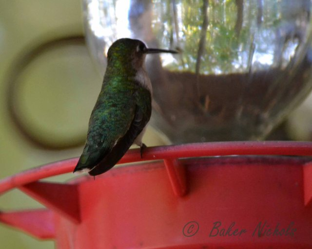 All the hummers left in the month of September flew the southern route