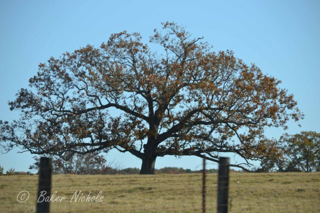 a tree grows in a field in the Ozarks same as in Brooklyn a leaning tree shaped by the force of wind  a shade for cattle