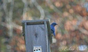 Bluebird house for rent