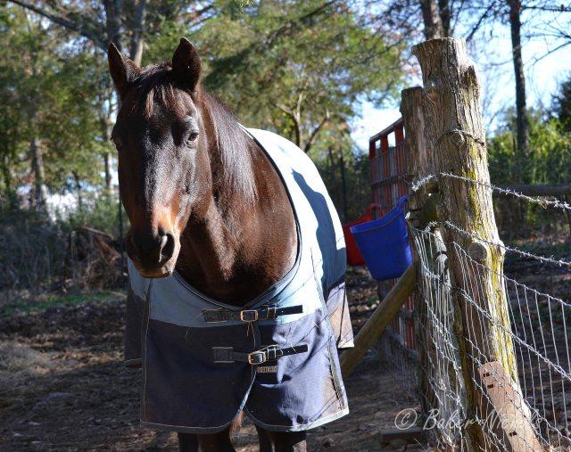 the big, black horse, Tex wearing his winter blanket-- ice storm moving in. © Freeda Baker Nichols
