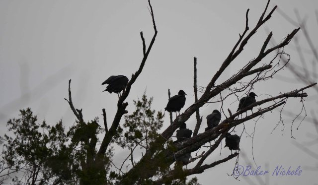 buzzards on the roost carrion in the valley-- lunch invitation