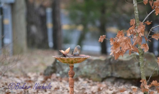 the summer bluebird returns December first-- empty water bowl