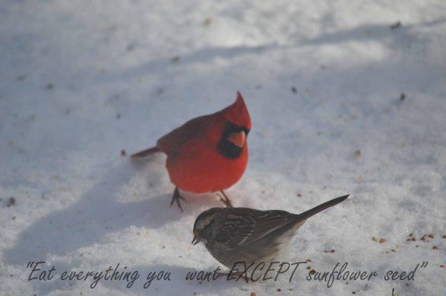Redbird, sparrow