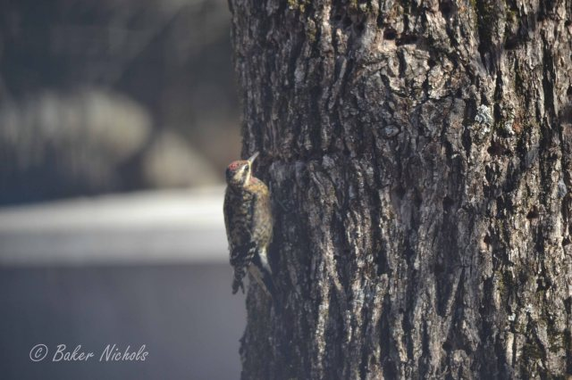 Senryu rat a tat tat tat I wonder if this bird knows that's my pecan tree © 2014 Freeda Baker Nichols