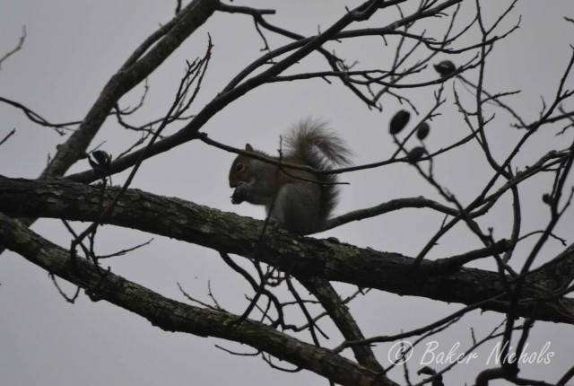 Before the rain, before the snow, before good light, this little squirrel has breakfast in the pecan tree.