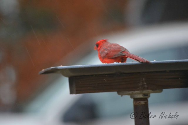 Cardinal One was eating feed in the rain.