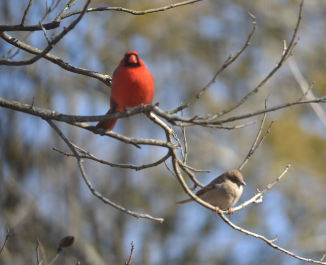 Haiku redbird and sparrow wait their turn at the feeder-- leafless pecan tree © Freeda Baker Nichols