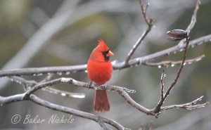 Cardinal in the Pecan Tree
