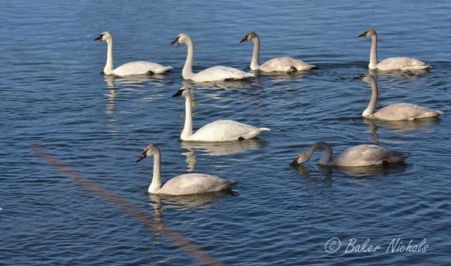 Swans on Magness Lake