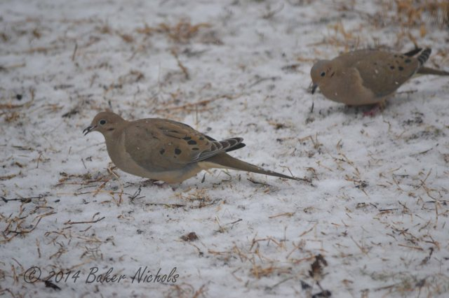 Mourning Doves finding grain before the snow covers it.