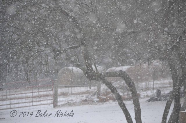Snow falling on the plum tree and bales of hay.