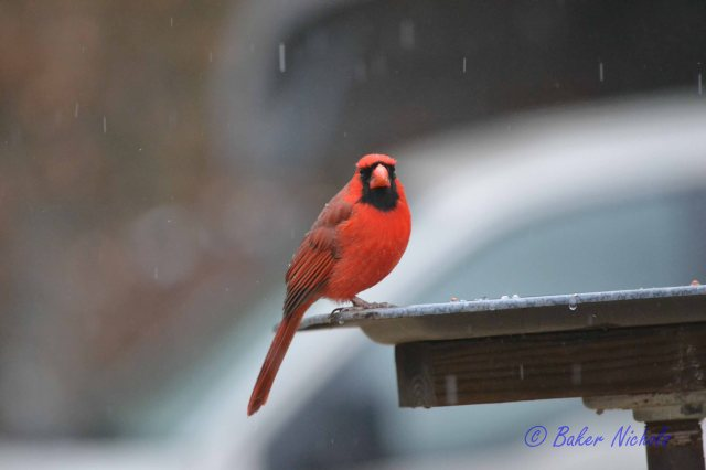 Redbird in rain and sleet 28 Feb 2014