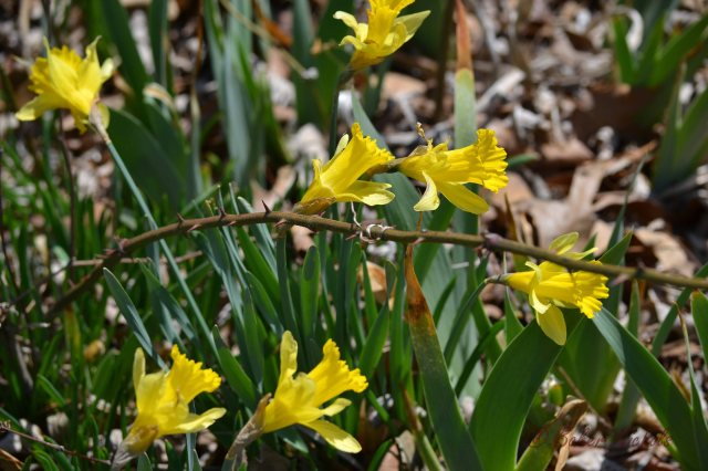 jonquils and thorns
