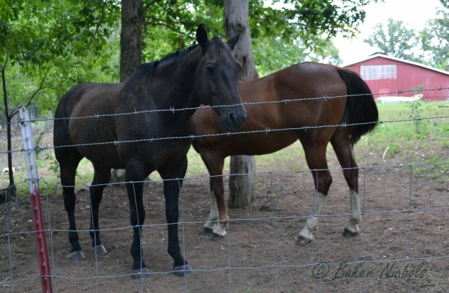 These horses are the same color as two mules my daddy owned in the late 1940's,