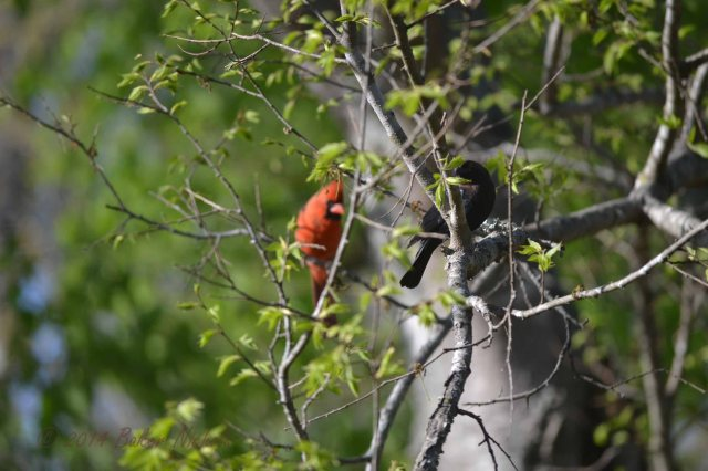 cardinal and cowbird