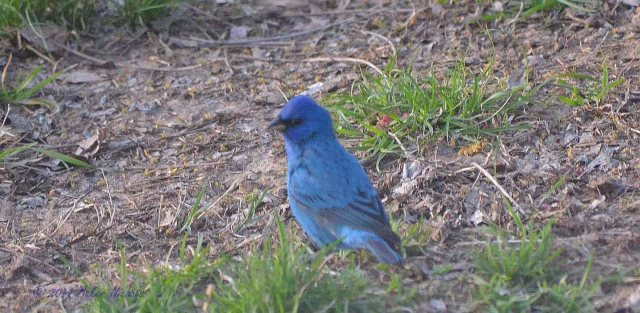 Indigo Bunting just traveling through the Ozarks