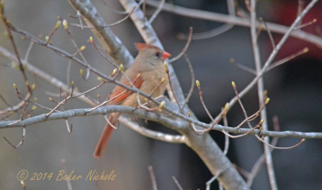 Female redbird in maple tree