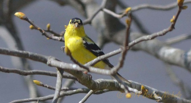 American Goldfinch on limb of hickory tree