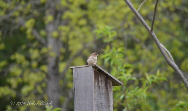 In my morning walk, a sparrow watches me.