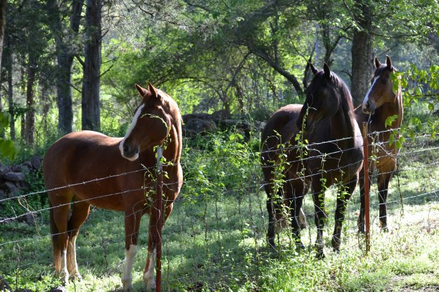 Three horses watch someone, too.