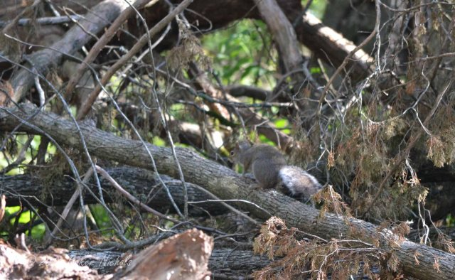 Nearby, a squirrel comes down from a tree and scurries across a log in a brush pile.