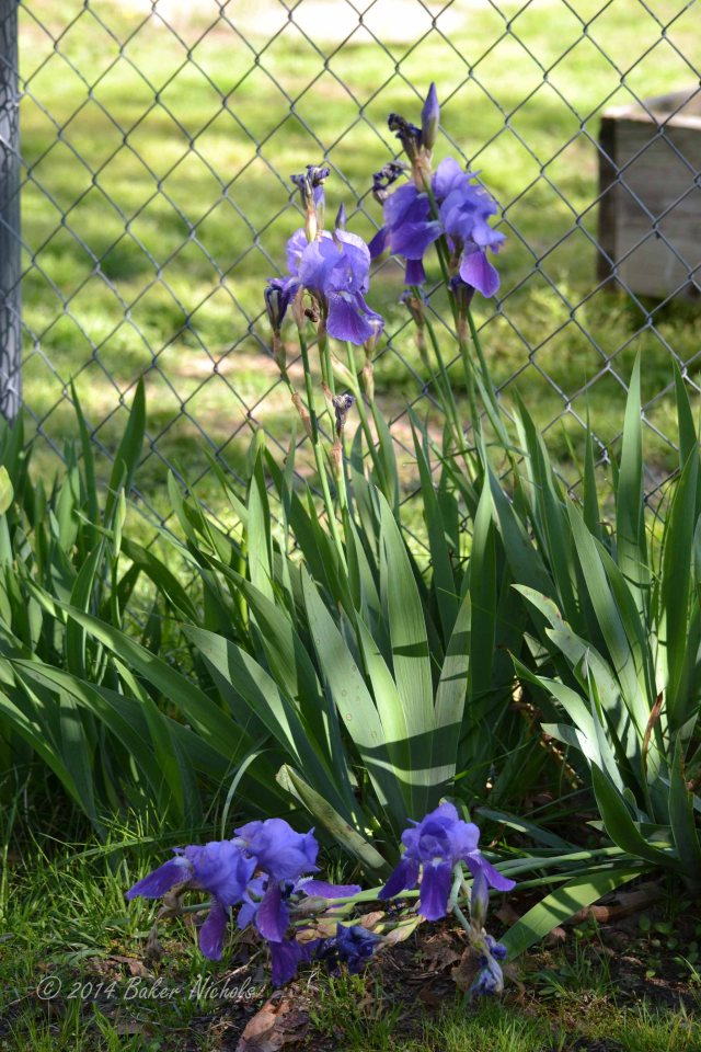 At the end of my morning walk, I find the purple iris ( from bulbs that were once my mother's) blown over by yesterday's unrelenting wind.
