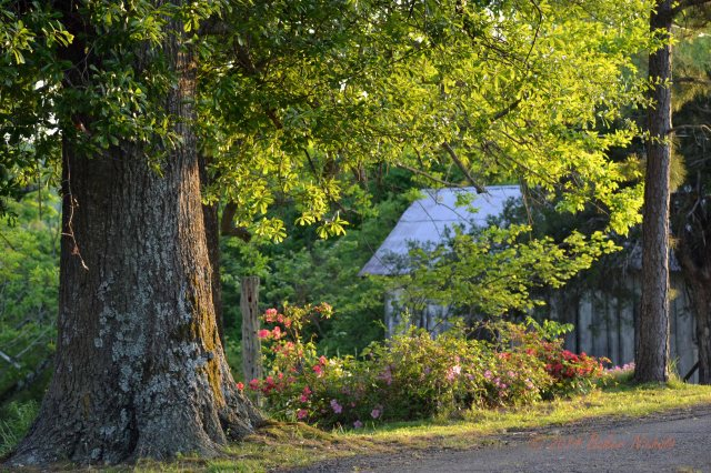 An oak, a pine, azaleas and a barn at sundown