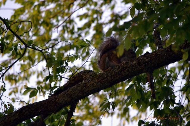 Early morning, a squirrel hides in the leaves of an elm tree.